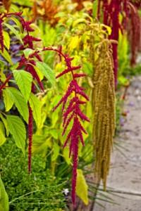 Amaranth Plant